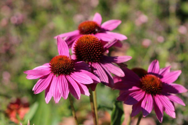 Die Echinacea hilft bei Erkältung mit erstaunlichen Ergebnissen